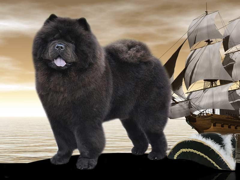 Ch. Long Feng Captain Jack Sparrow